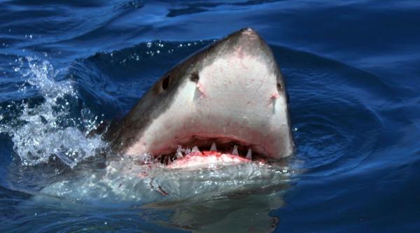 Žralok bílý - žijící legenda